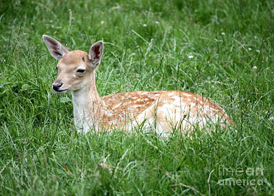 Photograph - Sleepy Fawn by Carol Groenen