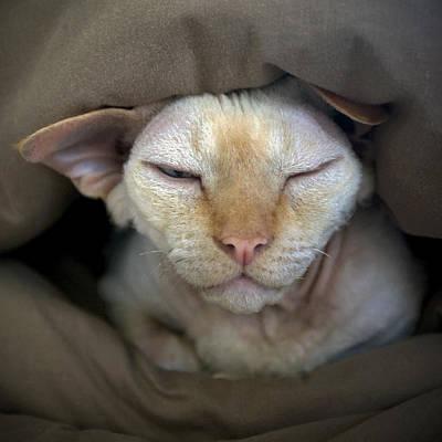 Devon Rex Cat Photograph - Sleepy Oliver 2 by Glennis Siverson