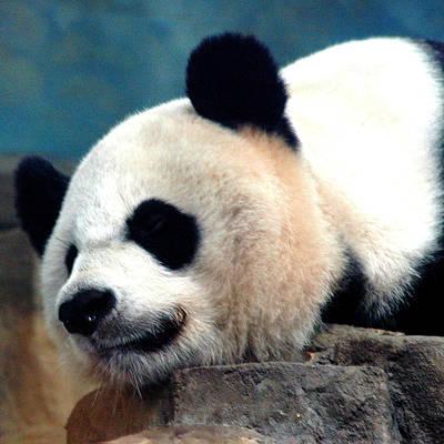 Smithsonian Museum Wall Art - Photograph - Sleepy Panda by LeeAnn McLaneGoetz McLaneGoetzStudioLLCcom