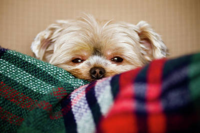 Of Dogs Photograph - Sleepy Puppy In Blanket by Gregory Ferguson