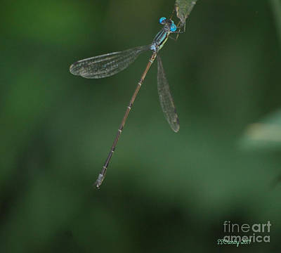 Slender Speadwing Damselfly Art Print