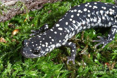 Salamanders Photograph - Slimy Salamander by Ted Kinsman