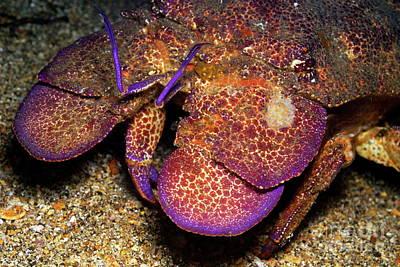 Slipper Lobster On Seabed Print by Sami Sarkis
