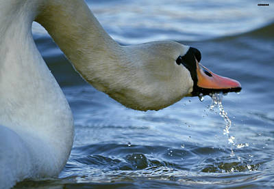 Pinion Photograph - Sloppy Swan by Brian Stevens