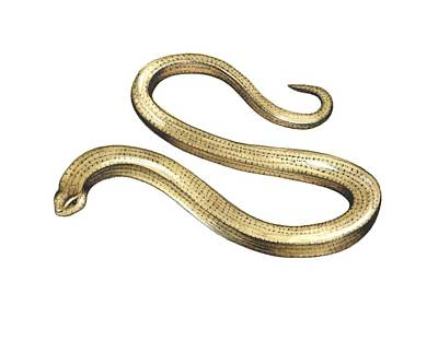Long-lived Photograph - Slow Worm, Artwork by Lizzie Harper