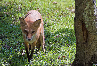 Photograph - Sly Like A Fox by Donna Proctor