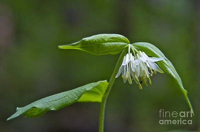 Small-flowered Fairy Bell Art Print by Sean Griffin