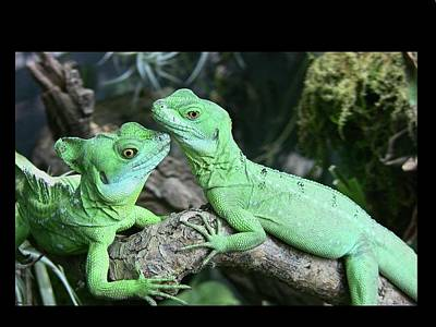 Branch Photograph - Small Iguanas Stirnlappenba by Rolf Bach