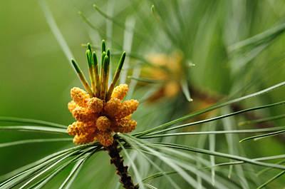 Small Male Cones On A Pine Tree Print by Darlyne A. Murawski
