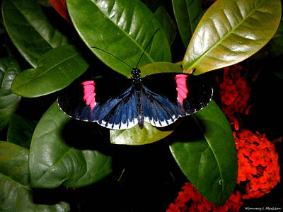 Photograph - Small Postman Butterfly by Kimmary MacLean