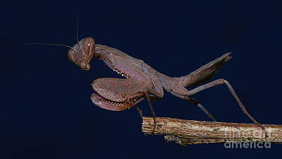 Photograph - Small Praying Mantis by Mareko Marciniak