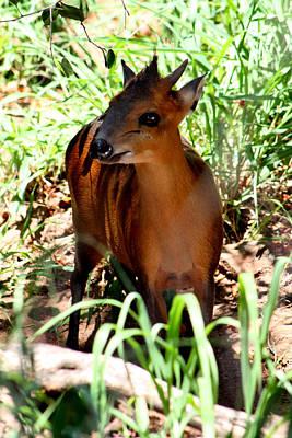 Photograph - Smallest Antelope 002 by Elizabeth  Doran