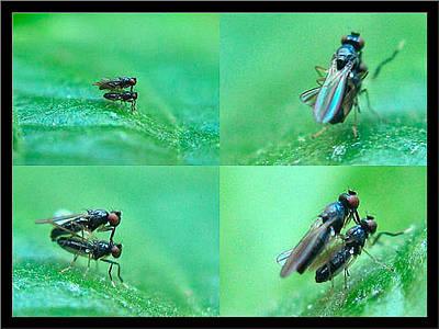 Photograph - Smallfliesmating 2003 by Glenn Bautista