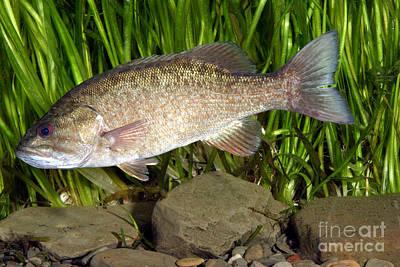 Sports Fish Photograph - Smallmouth Bass Micropterus Dolomieu by Ted Kinsman