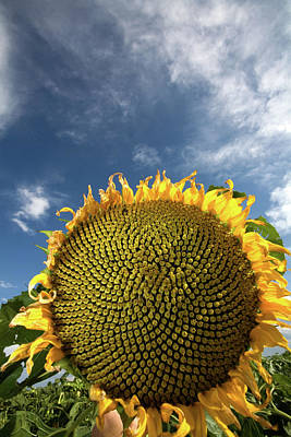 Sunflowers Royalty-Free and Rights-Managed Images - Smiling Face by Peter Tellone