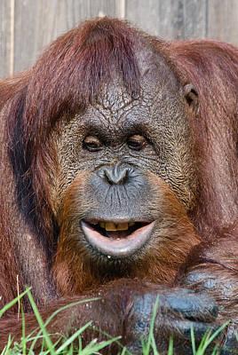 Photograph - Smiling Orangutan by Kathi Isserman