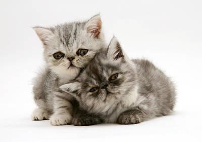 Photograph - Smoke And Silver Exotic Shorthair Kitten by Jane Burton