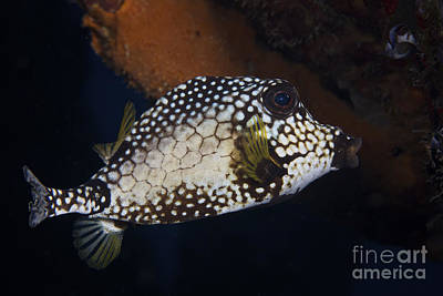Trunkfish Wall Art - Photograph - Smooth Trunkfish, Bonaire, Caribbean by Terry Moore