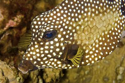 Trunkfish Wall Art - Photograph - Smooth Trunkfish by Clay Coleman