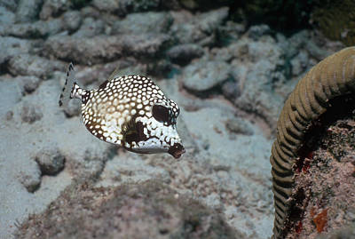 Trunkfish Wall Art - Photograph - Smooth Trunkfish by Georgette Douwma