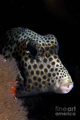 Trunkfish Wall Art - Photograph - Smooth Trunkfish Playing Hide And Seek by Terry Moore