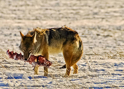 Photograph - Snacking Coyote by Harry Strharsky