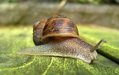 Photograph - Snail by Chris Day