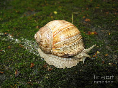 Photograph - Snail Crossing The Path 01 by Ausra Huntington nee Paulauskaite