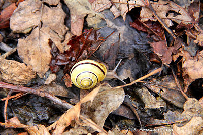 Snail In The Leaves Art Print by Carolyn Postelwait