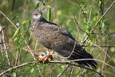 Photograph - Snail Kite Dinner by Patrick M Lynch
