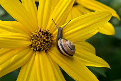 Photograph - Snail On A Daisy by Edward Myers