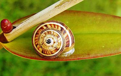 Art Print featuring the photograph Snail On Leaf by Werner Lehmann