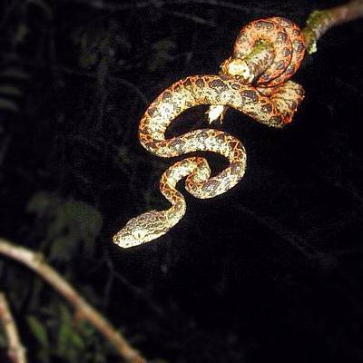 Reptiles Wall Art - Photograph - #snake #jungle #instamood #instagood by Alon Ben Levy