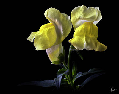 Photograph - Snapdragons by Endre Balogh