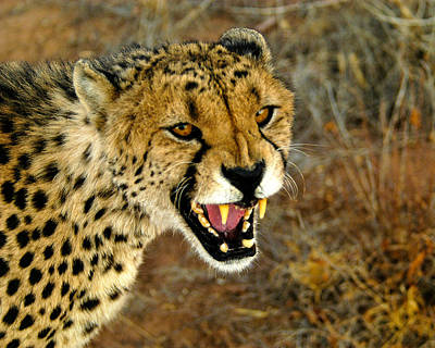 Photograph - Snarl by Alistair Lyne