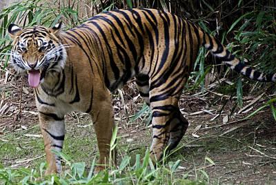 Snarling Tiger Art Print by Brendan Reals