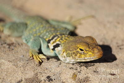 Collared Lizard Photograph - Sneaky by Adam Jewell