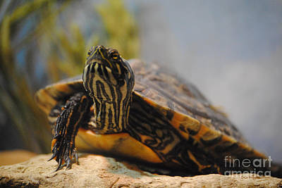Cooter Photograph - Snooty Turtle by DiDi Higginbotham