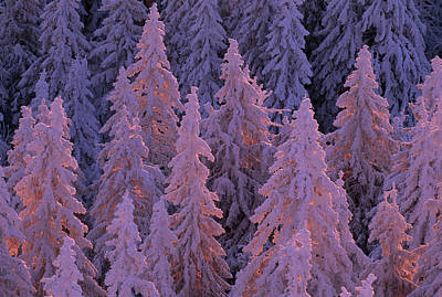 Snow Blanketed Fir Trees In Germanys Art Print by Norbert Rosing