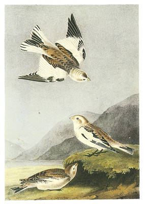 Bunting Painting - Snow Bunting by John James Audubon