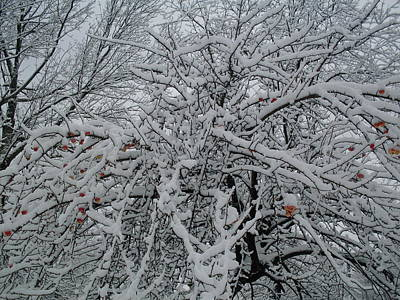 Photograph - Snow Covered Crab Apples by Ted Kitchen