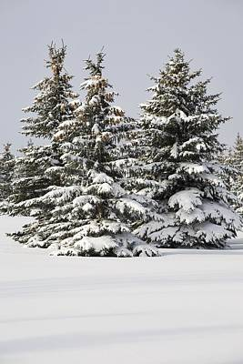Snow Covered Evergreen Trees Calgary Art Print by Michael Interisano