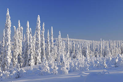 Bleached Tree Photograph - Snow Covered Forest, Niskala, Northern Ostrobothnia, Finland by Raimund Linke