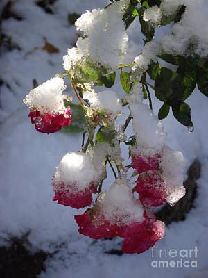 Snow Covered Roses Art Print