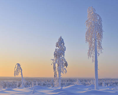 Bleached Tree Photograph - Snow Covered Trees At Dawn, Nissi, Northern Ostrobothnia, Finland by Raimund Linke