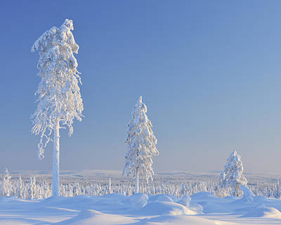 Bleached Tree Photograph - Snow Covered Trees, Nissi, Northern Ostrobothnia, Finland by Raimund Linke