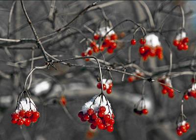 Wind Photograph - Snow Covered Winter Red Berries by LeeAnn McLaneGoetz McLaneGoetzStudioLLCcom