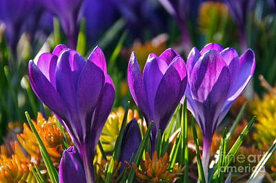 Photograph - Snow Crocus Winters Cheer by Byron Varvarigos