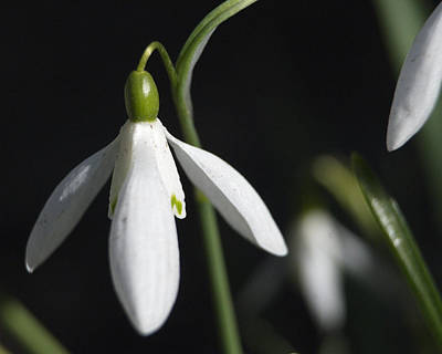 Photograph - Snow Drop Number 1 by Barry Doherty