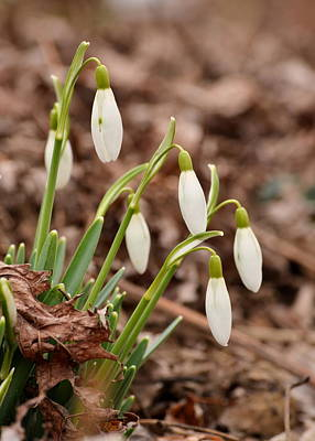 Photograph - Snow Drops by JD Grimes
